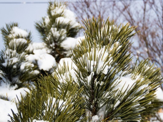 MMT snow covered pine stock photo