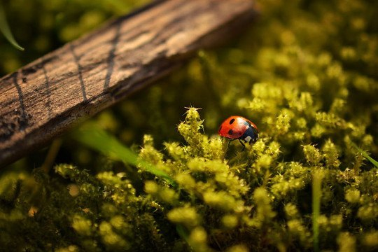 Skwauk free photo - ladybird